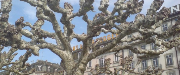 Shaved trees in Geneva, CH