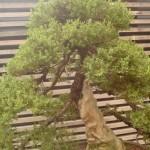 Floriade bonsai