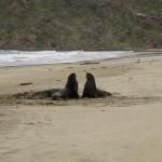Sea lions, NZ